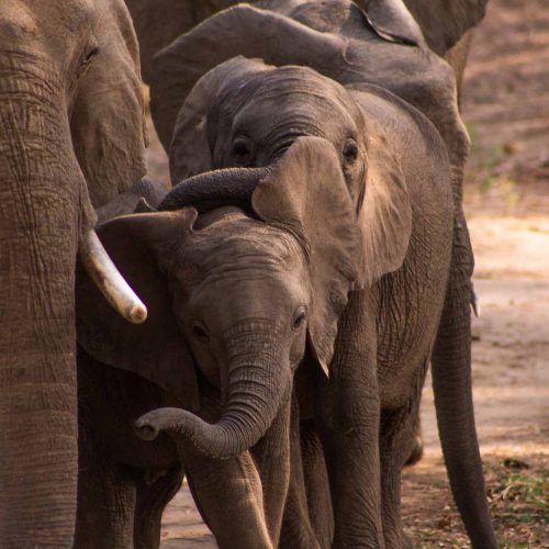 baby elephants walking alongside their mother