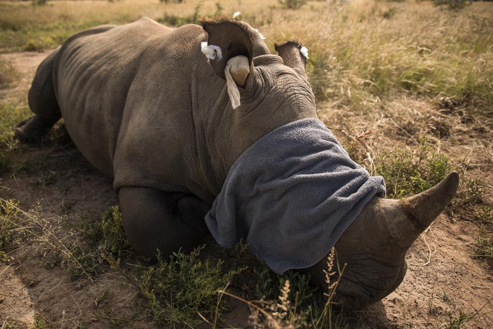 White rhino lying down