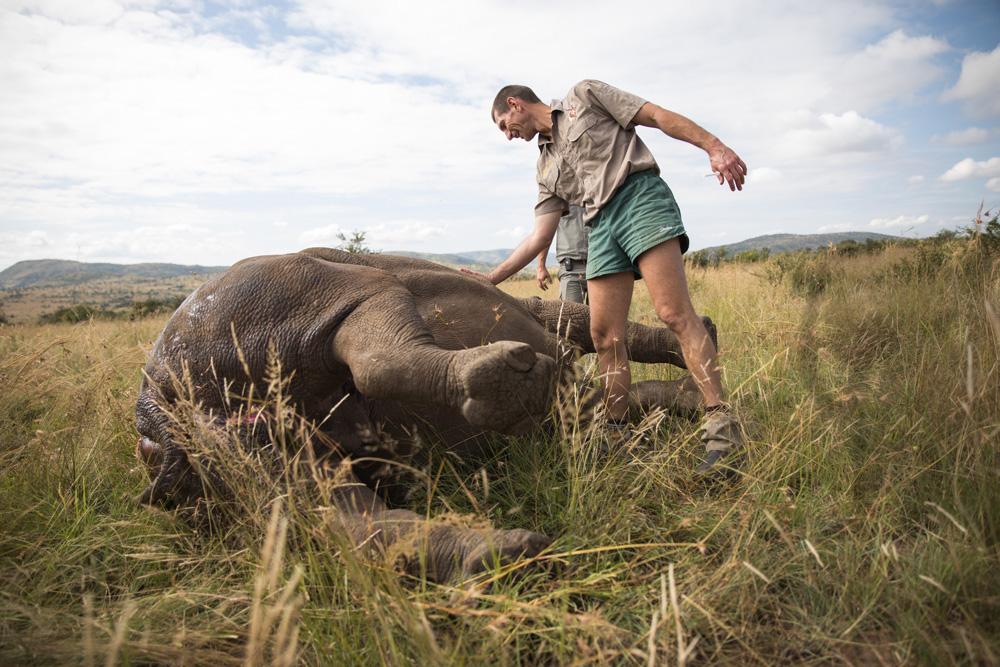Vet touching rhino in the wild